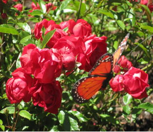 Red roses with monarch butterfly
