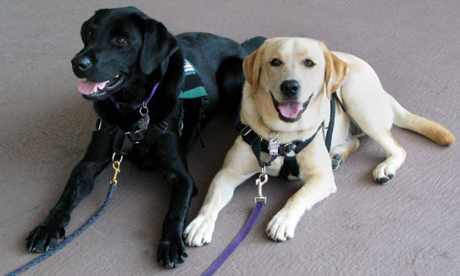 Black and golden therapy dogs